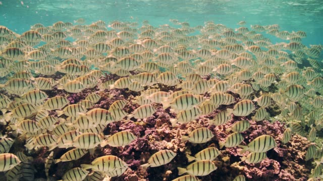 vidéos et rushes de a school of convict tangs swims over coral at midway atoll national wildlife refuge and battle of midway national memorial. part of papahanaumokuakea marine national monument. - banc de poissons