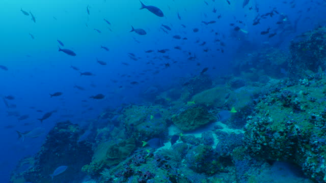 School of coral fish at undersea reef, Galapagos