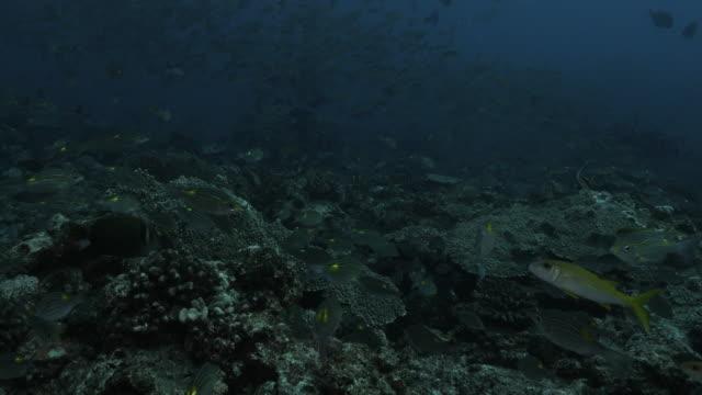 schule der korallenfische über schönem unterwasserriff, japan - meerbarbe stock-videos und b-roll-filmmaterial