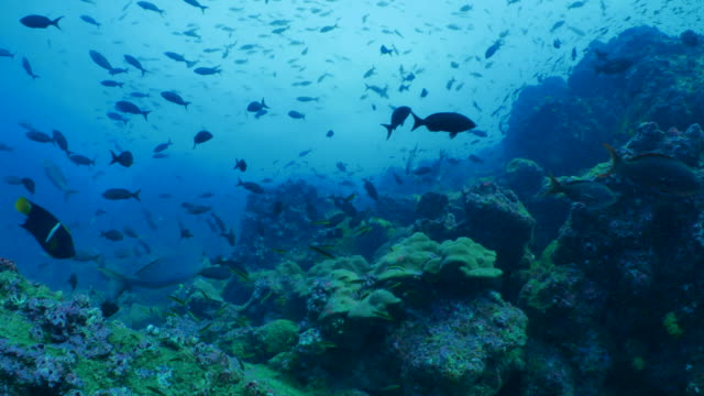 school of coral fish swimming at undersea reef, darwin island - galapagos islands stock videos & royalty-free footage