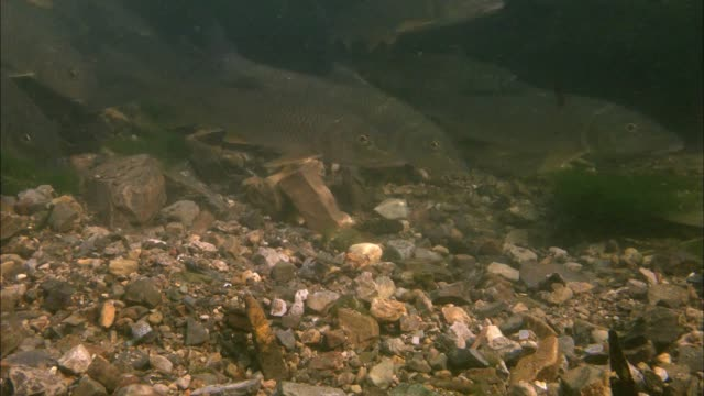 a school of cornet fish eating salmon's egg in the river - barbel stock videos and b-roll footage