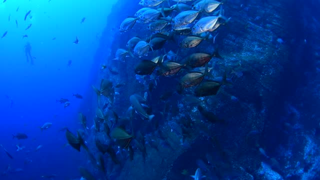 school of cotton mouth jacks underwater in socorro, mexico - baja california peninsula stock videos & royalty-free footage