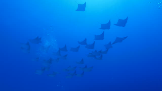school of cownose ray flying under sea surface, japan - eagle ray stock videos and b-roll footage