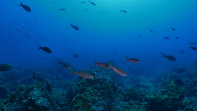 Schule von Kreolisch Fisch und Gelbschwanz Doktorfisch Schwimmen am Korallenriff
