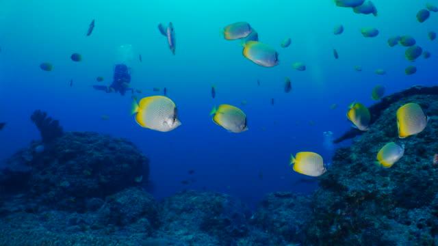 school of crotchet butterflyfish (chaetodon guentheri) undersea in ogasawara island, japan - butterflyfish stock videos & royalty-free footage