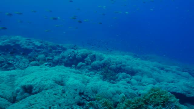 School of Damselfish around underwater coral reef, Japan