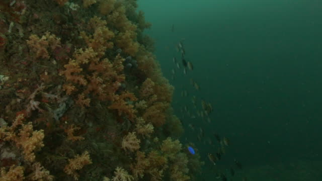 school of damselfish, fusilier fish at deep sea reef - canyon stock videos & royalty-free footage