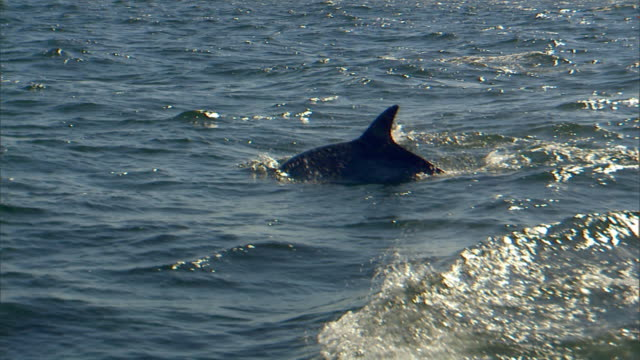 MS PAN School of dolphins swimming in blue sea under sun dappled sky / Port Elizabeth, Eastern Cape, South Africa