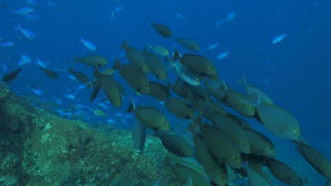 vídeos de stock e filmes b-roll de escola de eyestripe barbeiro nadar em recife de coral (4k - coral macio