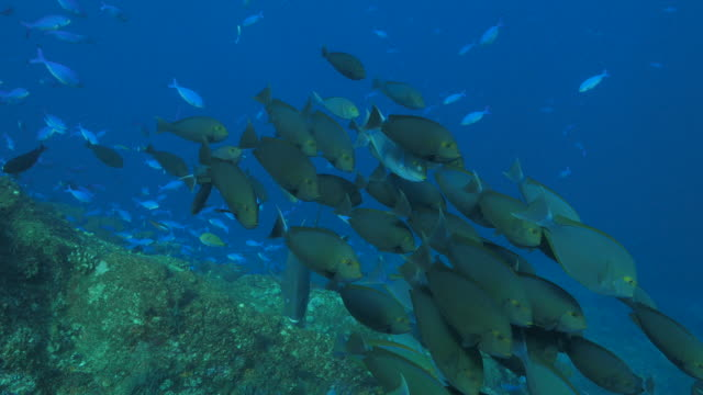 school of eyestripe surgeonfish swimming in coral reef (4k) - surgeonfish stock videos and b-roll footage