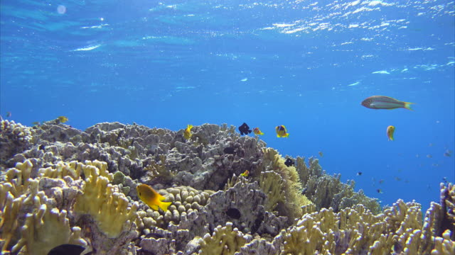 School of Fish and Anemonefish on fire coral , Red Sea