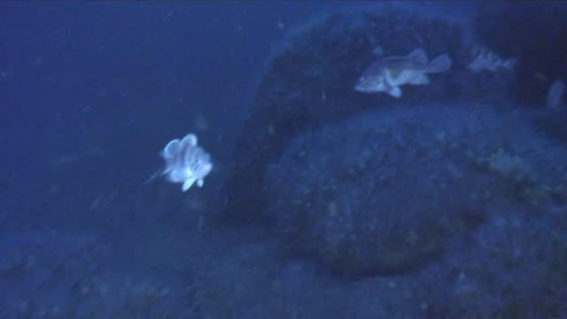 underwater, a school of fish at sea bottom, miyagi, japan - undersea video stock e b–roll