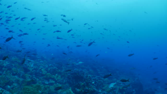School of fish at undersea coral reef, Galapagos
