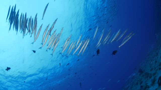 school of fish, barracuda, trevally jack, undersea - barracuda stock videos & royalty-free footage