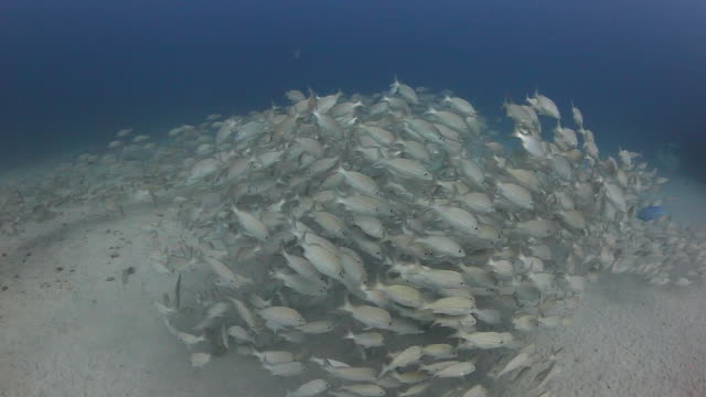 A school of fish circles along a sandy bottom