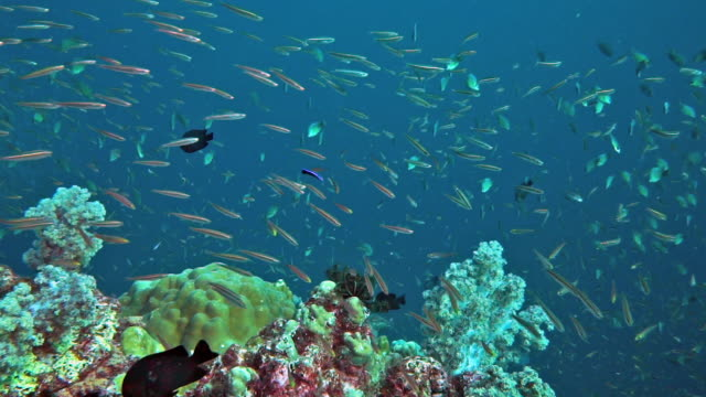 school of fish food chain biodiversity on coral reef - anchovy stock videos & royalty-free footage