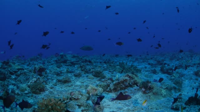 school of fish, napoleon wrasse, fusilier fish, palau - humphead wrasse stock videos & royalty-free footage