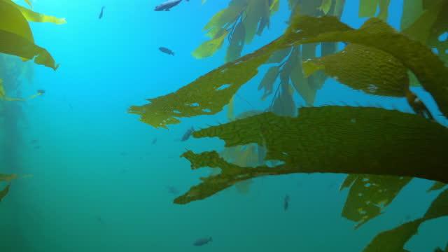 school of fish swimming amidst laminariales plants underwater - monterey, california - sea life stock videos & royalty-free footage