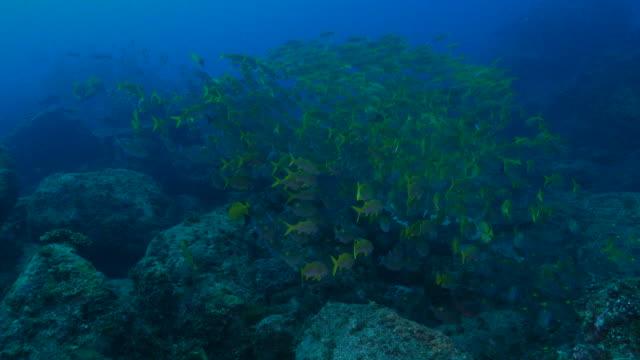 schule für fische, die am tiefseekorallenriff, japan schwimmen - meerbarbe stock-videos und b-roll-filmmaterial