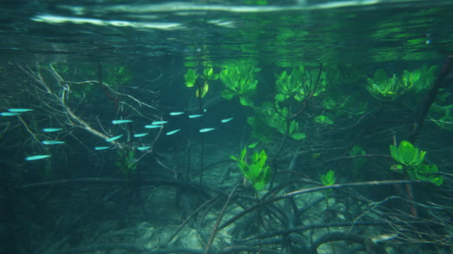 A school of fish swimming on mangrove roots