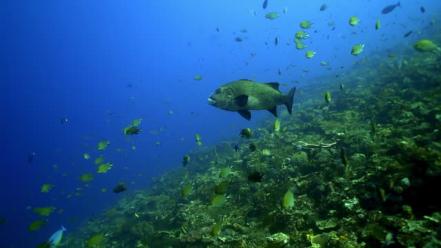 school of fish swimming over coral reef in blue ocean - komodo island, indonesia - sea life stock videos & royalty-free footage
