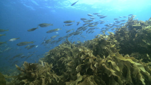 DS A school of fish swimming over kelp forest / Goat Island, New Zealand