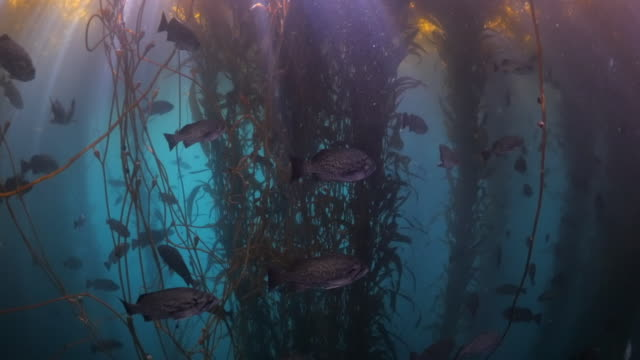 school of fish swimming under seaweeds floating on sea surface - carmel by the sea, california - seaweed stock videos & royalty-free footage