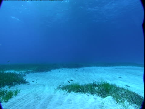 vídeos de stock e filmes b-roll de a school of fish swims above the sandy seabed in the bahamas. - sargaço