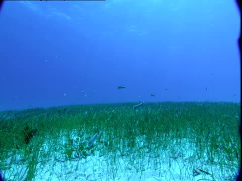 A school of fish swims above the seagrass on the ocean floor of the Bahamas.