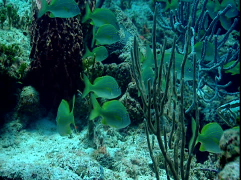a school of fish swims around a variety of corals. - grunt fish stock videos and b-roll footage