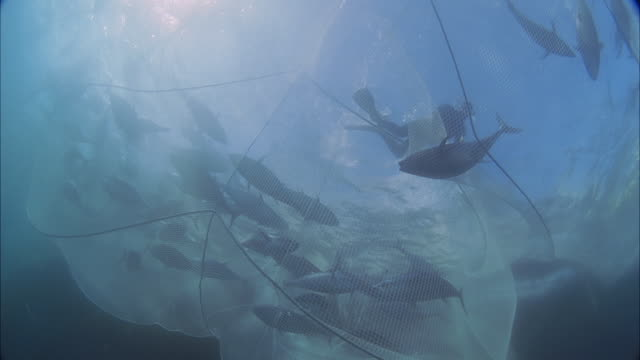 slo mo ws pan school of fish swims back and forth inside net, diver frees fish from net and swims away to left of frame / moorea, tahiti, french polynesia - fischereinetz stock-videos und b-roll-filmmaterial
