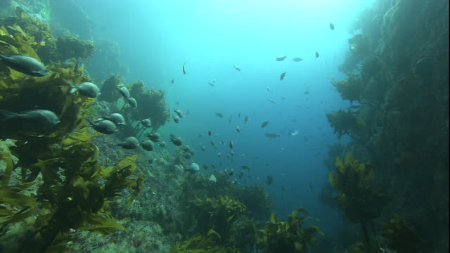 A school of fish swims over kelp in the Pacific Ocean. Available in HD.