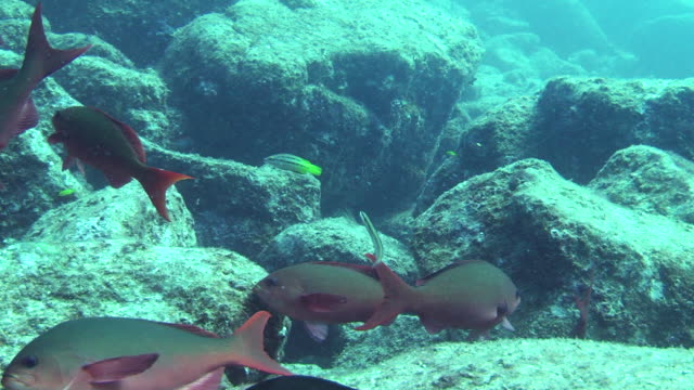 a school of fish swims over rocks in the sea of cortez, mexico. - sea of cortez stock videos & royalty-free footage