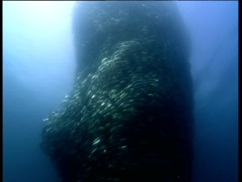 School of fish swirls around in bait ball