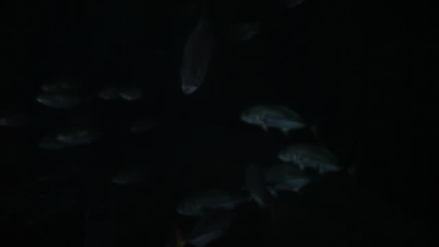 School of fish travel in darkness of Sargasso Sea, POV