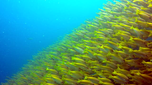 school of fish two spot snapper (lutjanus biguttatus) and big eye snapper (lujanus lutjanus) - school of fish stock videos & royalty-free footage