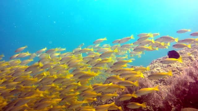 school of fish two spot snapper (lutjanus biguttatus) and big eye snapper (lujanus lutjanus) - animal behaviour stock videos & royalty-free footage