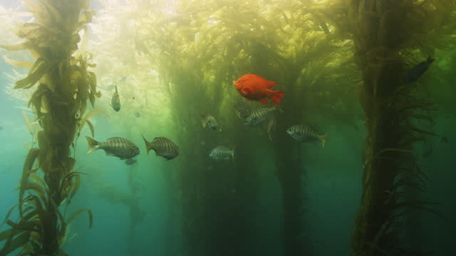 school of fish under kelp bed - damselfish stock videos & royalty-free footage