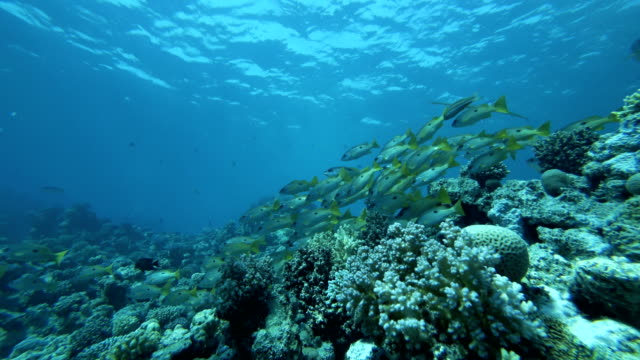 School of fishes above reef