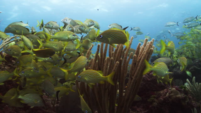 school of french gruntfish - gruntfish stock videos & royalty-free footage
