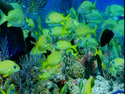 A school of french grunts lingers over corals.