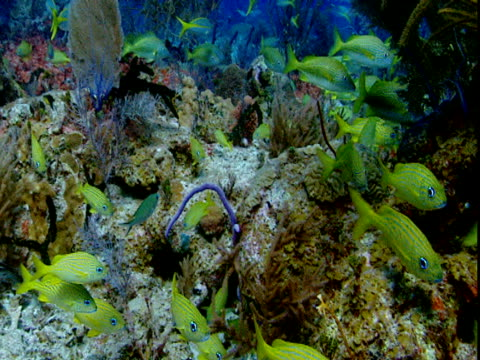 a school of french grunts swims along a coral reef. - grunt fish stock videos and b-roll footage