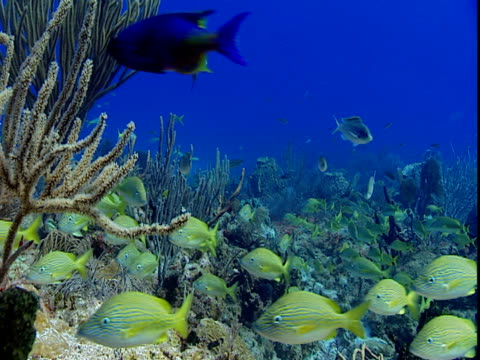 A school of french grunts swims along a coral reef.