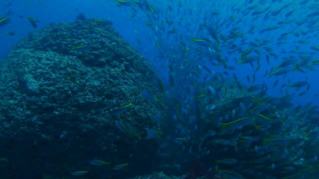 School of fusilier fish hiding in undersea pinnacle