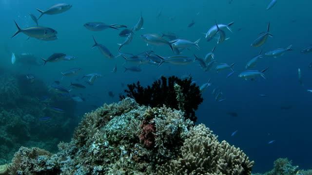 schule der füsilierfisch service von putzerlippfisch - lippfisch stock-videos und b-roll-filmmaterial