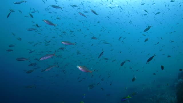 School of Fusilier fish swimming undersea, Indonesia