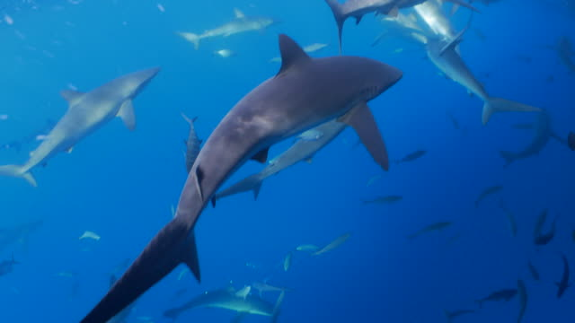 School of Galapagos shark below sea surface