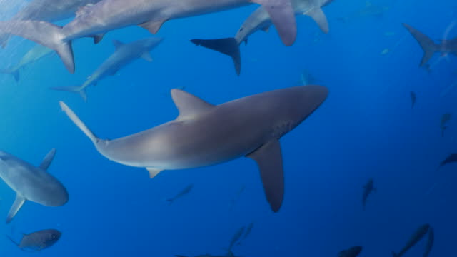 school of galapgagos shark swimming under boat - reef shark stock videos and b-roll footage