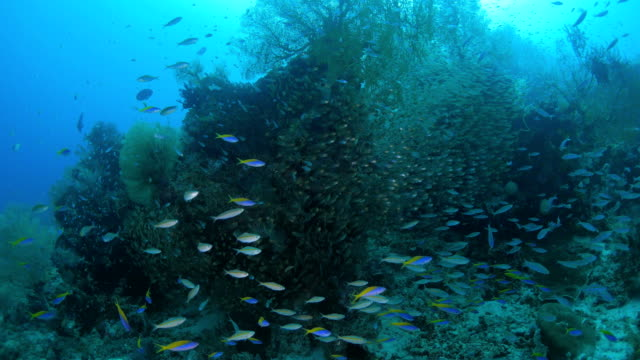 school of glass fish and fusilier in coral reef - glass fish stock videos & royalty-free footage