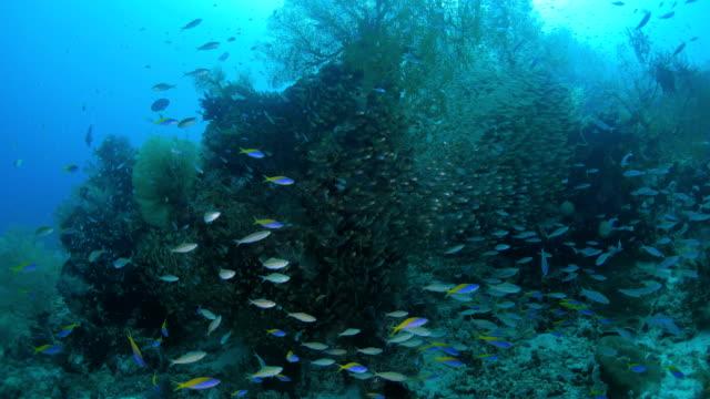 schule von glasfischen und füsilier im korallenriff - riff stock-videos und b-roll-filmmaterial